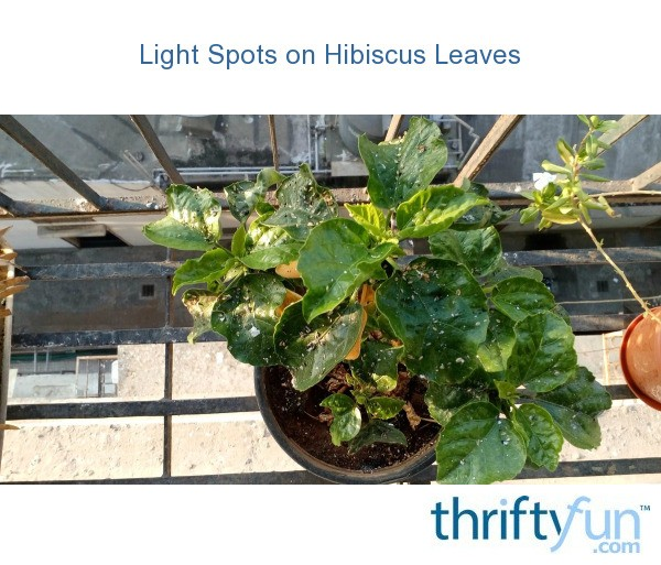 Light Spots On Hibiscus Leaves Thriftyfun