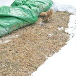Use Tarp to Keep Snowy Grass Clear