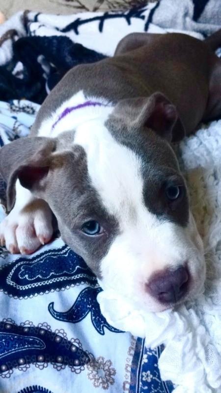 Darla (American Pit Bull Terrier )