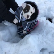 black and white Pit puppy in the snow