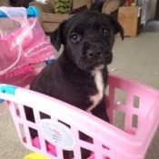 black puppy with white on chest sitting in pink plastic basket
