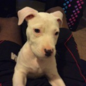 white puppy
