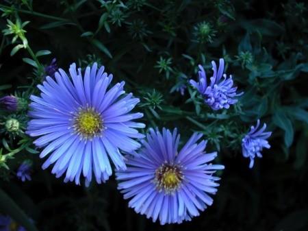 deep blue aster flowers