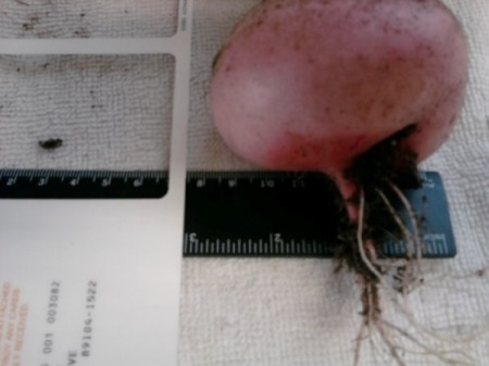 Measuring a large root vegetable.