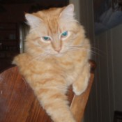 Rascal (Maine Coon Mix)