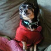 Josephine (Chihuahua)