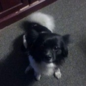 small black and white dog with fluffy tail