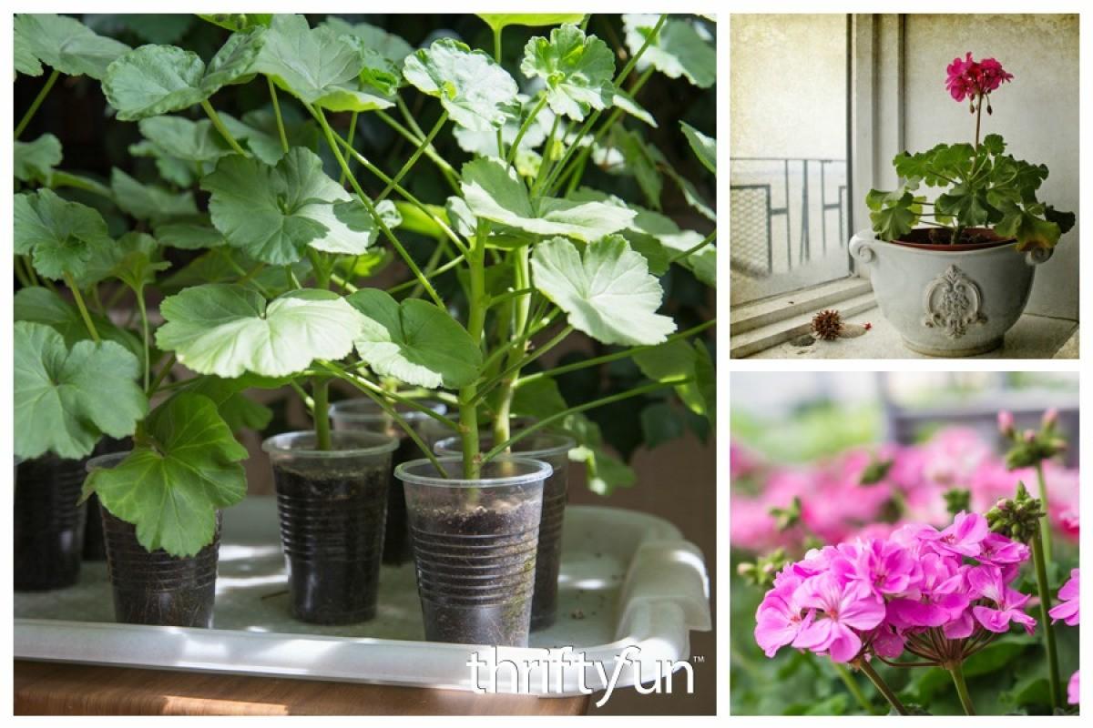 Growing Geraniums From Seeds Thriftyfun