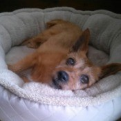 old dog in her bed
