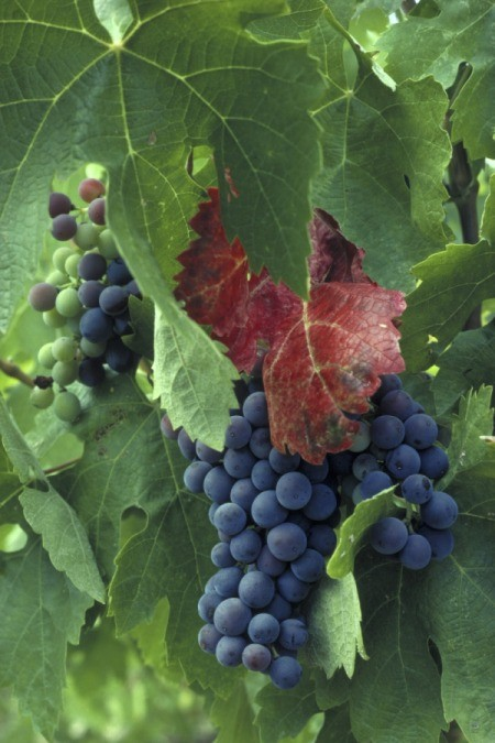 purple grapes hanging from vine