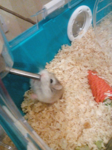 Nugget (Roborovoski Dwarf Hamster)
