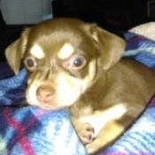 Gemma (Chihuahua)