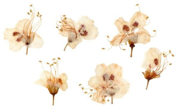How to press flowers thriftyfun pressed plum blossoms mightylinksfo