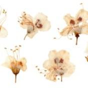Pressed plum blossoms