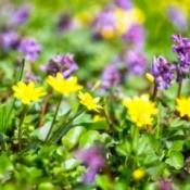 Multicolored Alpine flowers.
