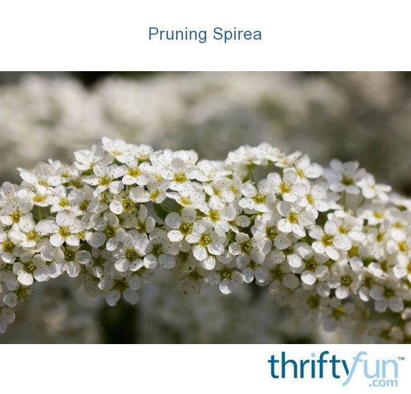 Pruning Spirea Thriftyfun