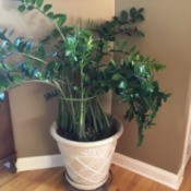 dark green leathery leafed plant