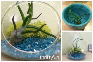Caring for an Air Plant