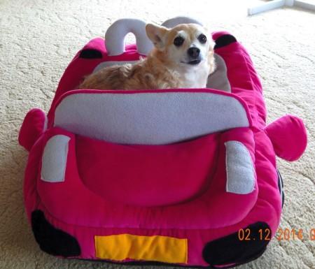 Wittle (Chihuahua/Pomeranian)