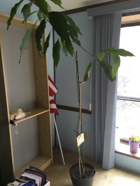 Growing an Avocado Tree