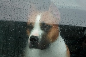 Sad dog looking through rain covered window
