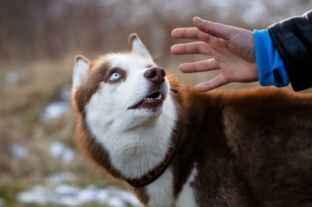 Large red dog cowering and looking at a man's outstretched hand