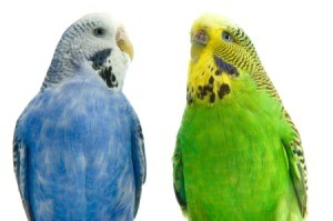 Two budgies (parakeets).  One is blue and white; the other is green and yellow