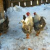 Chickens in the snow.  Two white and grey chickens are centered and two more chickens are in front of a hen house