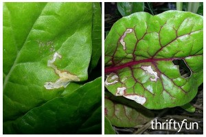 Leaf Miner Beetle Damage to Garden Vegetables