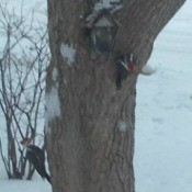 2 pileated woodpeckers on a tree