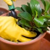 Repotting a houseplant.