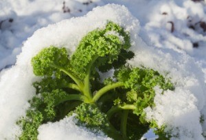 Kale after snow has fallen.