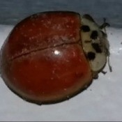 brownish red beetle with spots on head