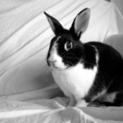 Black and white dutch rabbit against a while sheet background