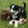 Two border collie type puppies playing in the grass.  One puppies is on it's back while the other stands over it.