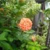 Orange Pentas