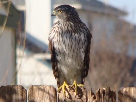 hawk on fence