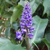 Lavandula Flower