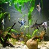 Close up of freshwater aquarium with plants and several kinds of fish including angle fish and red tail sharks