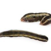 Two army worms against a white background.  One is stretched long