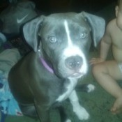 grey and white Pit