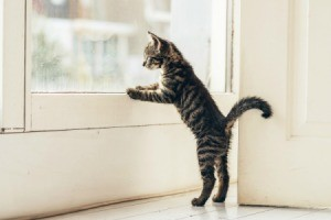 Young tabby cat standing standing on back legs with front paws against the inside of a white door looking out.