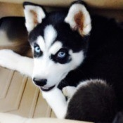 closeup of Dexter and black and white Husky