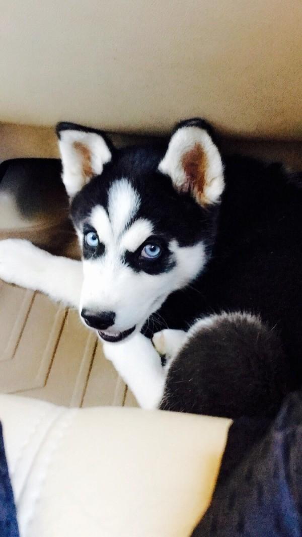 Siberian Husky Breed Information And Photos Thriftyfun