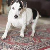 Shinook (Jack Russell Terrier)