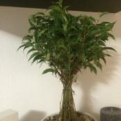 multi stemmed plant
