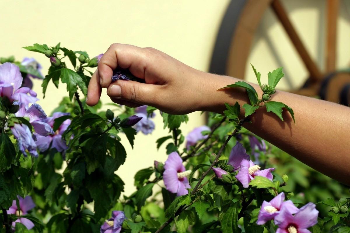 Pruning A Hibiscus Thriftyfun