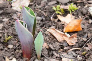 Fall Planting for Spring Bulbs