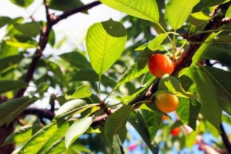 Growing Rainier Cherries