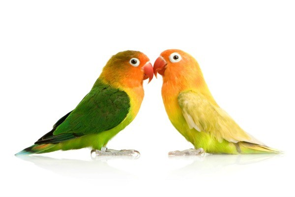 how to take care of african lovebirds